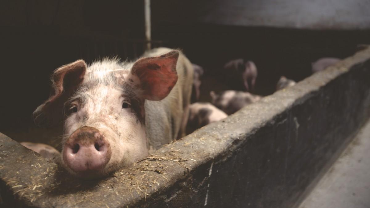 «Stranger Pigs» : la maltraitance animale indigne l'Espagne